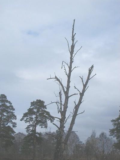 Деревья умирают стоя...