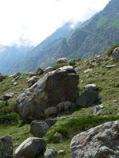 Днем овцы прячутся в тень от солнца